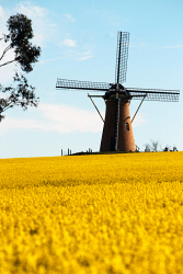 ALA-0000467 © WestPix Canola crop north of The Stirlings at The Lily. Picture: Laurie Benson Albany Advertiser