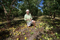 CTY-0000247 © WestPix Carnarvon cleans up after Cyclone Olwyn. Bentwaters plantation owner Joanne Symonds surveys the damage to her Rio Ruby Red grapefruit that were just two months from harvest. Expected to have lost $80,000 of crop.