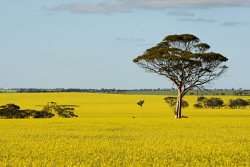 CTY-0003113 © WestPix Canola flowering west of Kellerberrin. PICTURE: DANELLA BEVIS