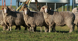 CTY-0003151 © WestPix Moojepin ewes are selected for high fat for reproductive efficiency and survivability duing harsh seasons. Picture: Bob Garnant