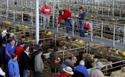 CTY-0003523 © WestPix An auction under way at the Muchea Livestock Centre.  PICTURE: NIC ELLIS   THE WEST AUSTRALIAN