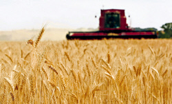 CTY-0003526 © WestPix Contractor Lance Clement harvesting Mace wheat at Marchagee. PICTURE: DANELLA BEVIS