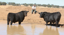 CTY-0003529 © WestPix After an exceptional growing season, Ardcairnie Angus co-principal Jim McGregor gives thought to what will be during the 2017 bull selling season. The McGregors will offer 82 bulls at their Maybenup property at Kojonup on Tuesday, January 31. Picture: Bob Garnant
