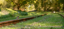 FAR-0007225 © WestPix A scarlet robin sits on railway tracks in Beedelup. Picture: Farhad Mobarra