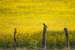 FAR-0007228 © WestPix Farming scene in the Stirling Ranges. A Twenty Eight parrot sits on a fence. Picture: Farhad Mobarra