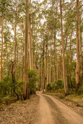 FAR-0007233 © WestPix A tree lined dirt road. Picture: Farhad Mobarra