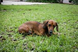 KGM-0029936 © WestPix Penny the Dachshund. Picture: Tegan Guthrie