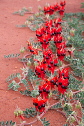 KGM-0034332 © WestPix Closing in for detail of Sturt's Desert Pea and controlling depth of field.