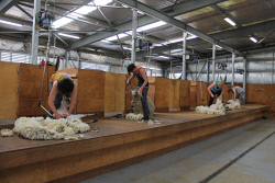 NAR-0003477 © WestPix Kallum Hughes, Zander Arnold, James McKenzie and Nick Brown in the final of the shearing competition. Pictures David Charlesworth
