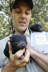 SUN-1401002 © WestPix David Cobbold of the Peel Zoo with the two Tasmanian Devil joeys who are the latest additions to the zoo's breeding program. 28th Aug 2012. Picture by Steve Ferrier / The West Australian.
