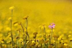 TWA-0004133 © WestPix Mellow yellow: A pink everlasting sits alone in a field of golden long-heads in the Coalseam Conservation Park, north of Mingenew.
