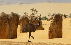 TWA-0005432 © WestPix An emu at the Pinnacles desert at Nambung National Park, Cervantes. Pic Mogens Johansen, The West Australian 240113