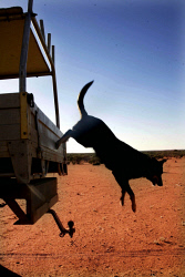 TWA-0007961 © WestPix Working dog jumps out of a ute on Wooleen Station.
