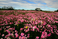 TWA-0007966 © WestPix Wildflowers at Hi Vallee Farm near Badgingarra.