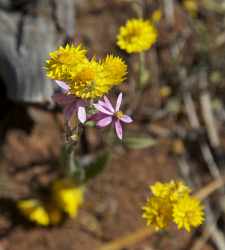 TWA-0045914 © WestPix Wildflowers at Coalseam, north of Mingenew. A classic day in September. Picture: Stephen Scourfield The West Australian