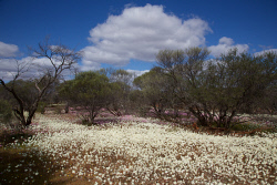 TWA-0045918 © WestPix Flowers near Paynes Find in September. A carpet of everlastings stretches into the distance. Picture: Stephen Scourfield The West Australian