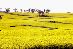 TWA-0049771 © WestPix Canola paddock. Picture: Rob Duncan