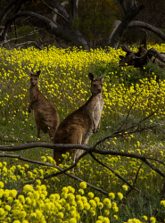 TWA-0051696 © WestPix Two kangaroos amongst yellow Pompom flowers at Coalseam Conservation Park near Mingenew and Mullewa. Pic Mogens Johansen, The West Australian