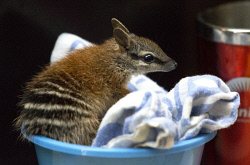 TWA-0053788 © WestPix Rescued numbat Frankie being looked after at the Perth Zoo by senior technical officer Dani Jose. Picture; Michael O'Brien    The West Australian