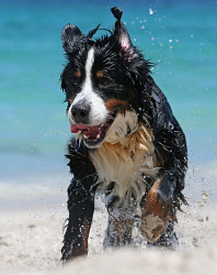 TWA-0061705 © WestPix Perth is heating up with the mercury tipped to reach 41 degrees. Pictured is Bernese Mountain Dog Goliath cooling down at Whitfords dog beach.  Picture: Justin Benson-Cooper The West Australian