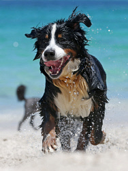 TWA-0061706 © WestPix Perth is heating up with the mercury tipped to reach 41 degrees. Pictured is Bernese Mountain Dog Goliath cooling down at Whitfords dog beach.  Picture: Justin Benson-Cooper The West Australian