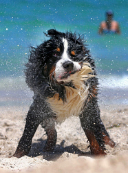 TWA-0061707 © WestPix Perth is heating up with the mercury tipped to reach 41 degrees. Pictured is Bernese Mountain Dog Goliath cooling down at Whitfords dog beach.  Picture: Justin Benson-Cooper The West Australian