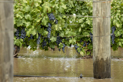 TWA-0063081 © WestPix Upper Reach Vineyard in Baskerville has had much of their vines covered by the flood waters. Picture: Steve Ferrier The West Australian.