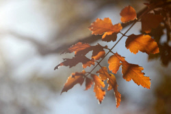 TWA-0064281 © WestPix Autumn leaves at Michelle McManus and Jeff Pow's Balingup property. 11 MAY 2016 Picture: Danella Bevis The West Australian