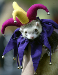 TWA-0065739 © WestPix Ferrets of all shapes and sizes were on display at Tomato Lake, Carlisle today at the annual ferret show. Smeogal dressed as a court jester belongs to Aleisha Coddington, and was one of many that participated in the fancy dress competition. Picture: John Mokrzycki