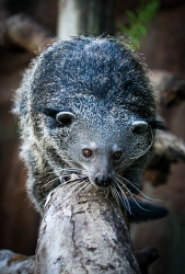 TWA-0070241 © WestPix Perth Zoo's new binturong Rabu venture out into his new enclosure. Picture: Mogens Johansen, The West Australian