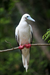 TWA-0070981 © WestPix Red-footed Booby. Christmas Island travel feature. 11 JUNE 2017 Picture: Danella Bevis The West Australian
