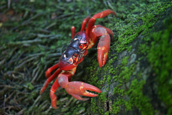 TWA-0070988 © WestPix A red crab feasts on moss in the rainforest. Christmas Island travel feature. 12 JUNE 2017 Picture: Danella Bevis The West Australian