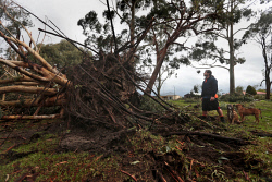 TWA-0072913 © WestPix Balcatta man Billy Joncevski arrived at Celebration Park in Balga to walk his dogs. He came across this huge tree which had been completely uprooted. Damage from storm front. 31 JULY 2017 Picture: Danella Bevis The West Australian