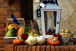 TWC-0028062 © WestPix A cat keeps watch over a selection of gourds on display at a market in Italy. Photo by Trevor Collens