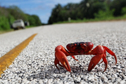 WAN-0002012 © WestPix Christmas Island: Christmas Island Red Crab. Pic: Michael Wilson, WA News, 11th January 2012...