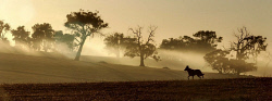 WAN-0002466 © WestPix Cold Snap - A kelpie stretches his legs in the early morning mist on a farm in Moodiarrup, 240km south of Perth.