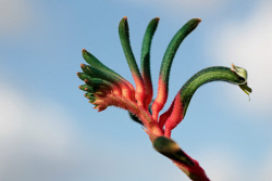 WAN-0017426 © WestPix Kangaroo Paw at Kalbarri National Park. AUGUST 20 2015 Picture: Danella Bevis The West Australian