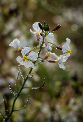 WAN-0027466 © WestPix Morning dew on wildflowers near Coalseam Conservation Park near Mingenew and Mullewa. Pic Mogens Johansen, The West Australian
