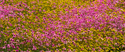 WAN-0027470 © WestPix Wildflowers in full bloom at Coalseam Conservation Park near Mingenew and Mullewa. Pic Mogens Johansen, The West Australian