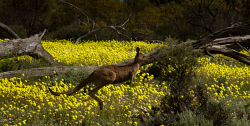 WAN-0027472 © WestPix A kangaroo in full flight amongst yellow Pompom flowers at Coalseam Conservation Park near Mingenew and Mullewa. Pic Mogens Johansen, The West Australian