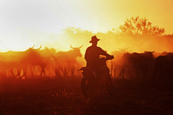 WAN-0027579 © WestPix Bidgemia to Mooloo Downs Cattle Drive: Heath Funnel gets the cattle moving on the second day. Picture: Michael Wilson, WA News, 8th March 2011. (IMAGE A FINALIST IN THE PANPA AWARDS).