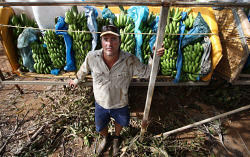 CTY-0000246 © WestPix Carnarvon cleans up after Cyclone Olwyn. Mundillya farm owner Chris Collins has lost his 35 acres of bananas, is trying to salvage green bananas for banana bread.