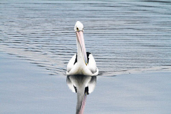 KGM-0038158 © WestPix A pelican swims by to see if we are going fishing. Picture: Geoffrey Thomas