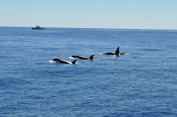 KGM-0038160 © WestPix Three orcas rise in unison for a breath. Picture: Angie Tomlinson