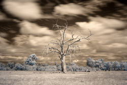 SMI-1400857 © WestPix Infrared of a dead tree in Dwellingup, WA. Picture: Peta Smith