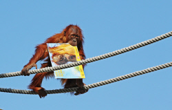 SUN-1403538 © WestPix Perth Zoo. Orangutan Sekara with the calendar. Picture: Daniel Wilkins