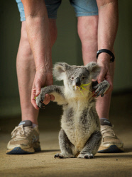 SUN-1404256 © WestPix Baby koala 'Blinky Jill' (10 months old) with Karen Blakeley, Animal Carer at Cohunu Wildlife Park in Byford, Perth.  Picture: Ross Swanborough. 1 February 2018.