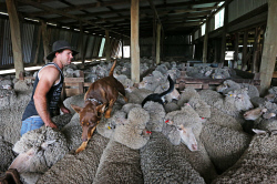SUN-1404395 © WestPix Scenes in a shearing shed in Witchcliffe, just past Margaret River. Pictured - James Carr with Dusty (3 y.o. Kelpie) and Cruiser (6 month old kelpie). Picture: Daniel Wilkins.