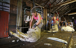 SUN-1404399 © WestPix Scenes in a shearing shed in Witchcliffe, just past Margaret River. Pictured - Tarryn Gray (20) hard at work, with dad Greg, Adrian Barker and Brad Gibson in the background. Picture: Daniel Wilkins