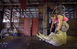 SUN-1404412 © WestPix Scenes in a shearing shed in Witchcliffe, just past Margaret River. Pictured - Tarryn Gray (20) hard at work. Picture: Daniel Wilkins